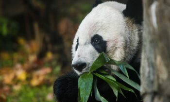 Bei Bei Says GOODBYE To America – Panda Leaves National Zoo Headed To China