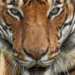 Tiger At Bronx Zoo Tests POSITIVE For Coronavirus – Animals NOT Immune